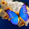The Queen of Night - Morpho butterfly on orchid flowers with the Moon / Царица ночи