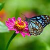 A Paradisal World - Blue Tiger butterfly / Райский мир - бабочка голубой тигр