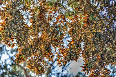 Butterflies 32