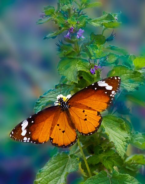 Nocturne - Danaus chrysippus butterfly / Ноктюрн - бабочка данаида хризипп