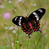 Free Flight - Hector Butterfly / Свободный полет - бабочка Гектор