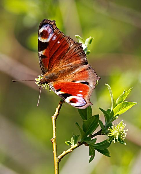 Spring Study- Inachis io butterfly / Весенний этюд - бабочка павлиний глаз
