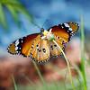 A Winged Dream - Danaus chrysippus or Tiger Butterfly / Крылатая мечта - бабочка данаида хризипп или тигр