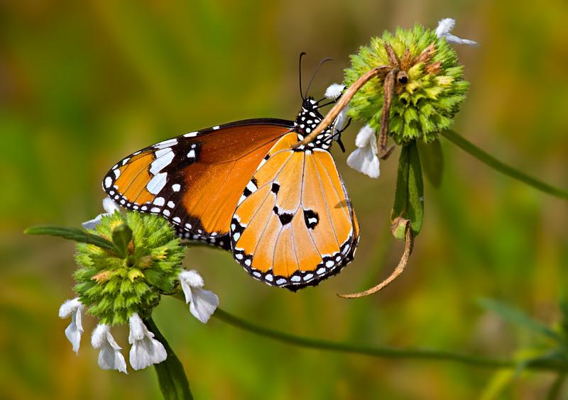 Drinking Tender Honey - Danaus chrysippus butterfly / Вкушая нежный мед - бабочка данаида хризипп