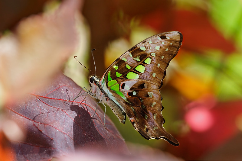 A Fairytale Moment — Graphium Agamemnon butterfly / Мгновение сказки