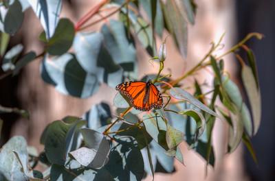 Butterflies11