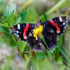 Red admiral underside on a yellow flower