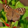 On Golden Wings - Junonia lemonias Butterfly / На золотых крылах - бабочка юнония лимонная