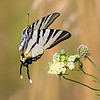 Парусник подалирий.<br /> Scarce swallowtail - papilio Iphiclides podalirius.