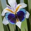 Blue Glory - Asterope markii butterfly