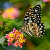 Demoleus or Lemon Papilio / Лимонный парусник или Демолей
