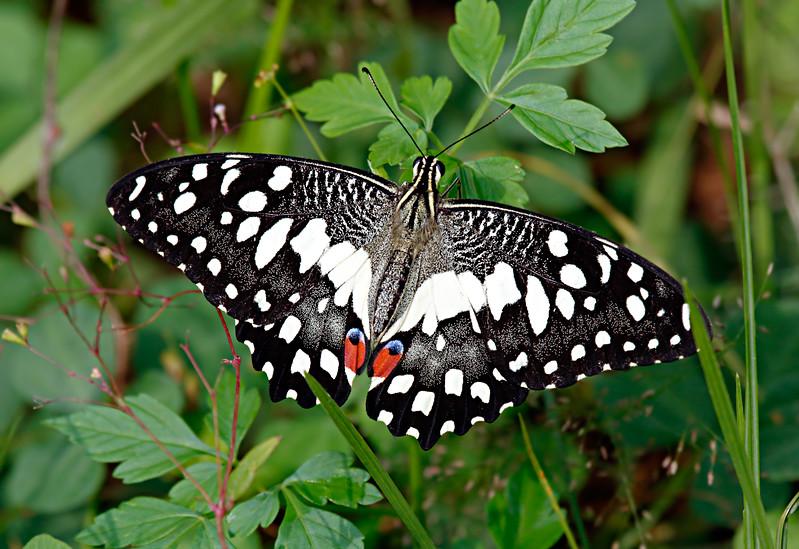 Perfection - Indian Papilio demoleus / Совершенство - индийский парусник Демолей