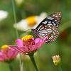 A Blue Harmony - a blue tiger butterfly / Голубая гармония - бабочка голубой тигр