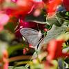 In the bloom of Paradise - Pareronia valeria butterfly / В райских кущах - бабочка парерония валерия