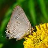 The Little Tailed One - Rapala manea butterfly / Хвостатик - бабочка рапала манея