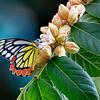 Sweet Dream — Delias eucharis butterfly / Сладкая греза — бабочка делия эухарис