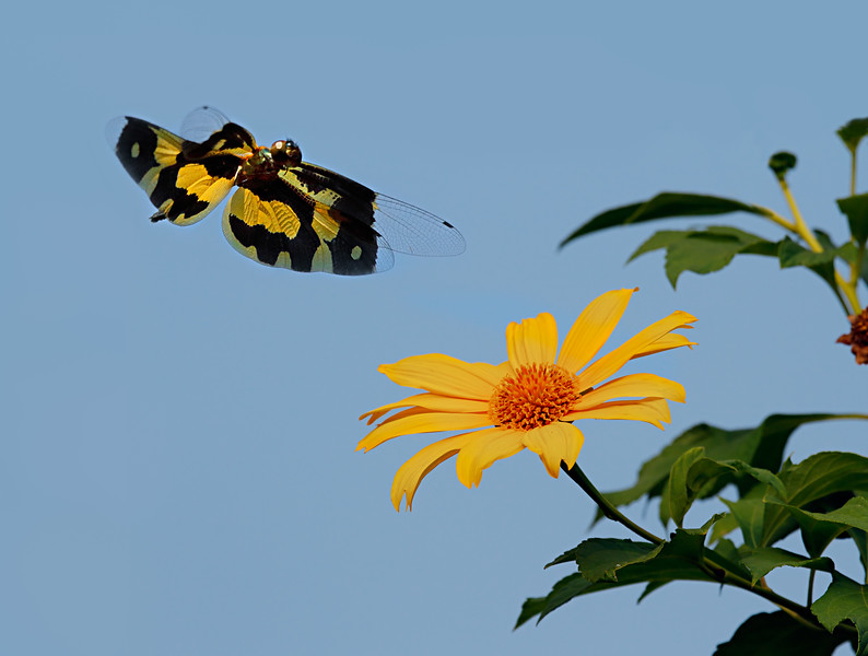 Free Flight - Rhyothemis variegata dragonfly / Свободный полет - стрекоза риотемис вариегата