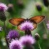 Summer Study - Maniola jurtina butterfly / Летний этюд - бабочка бархатница волоокая