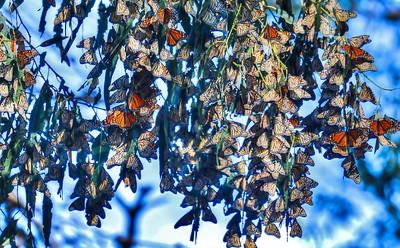 Butterflies 26