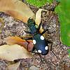 Domino Beetle / Жук домино