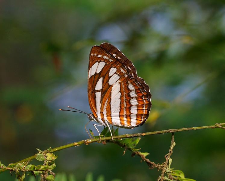 A Winged Sailer - Neptis hylas butterfly / Крылатый парусный корабль