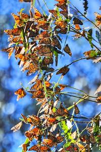 Butterflies 22