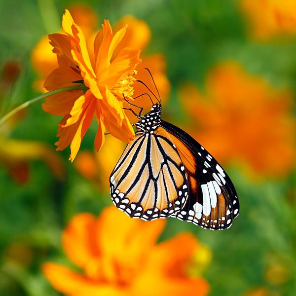 An Orange Study - Danaus genutia butterfly / Оранжевый этюд - бабочка данаида генуция или тигр