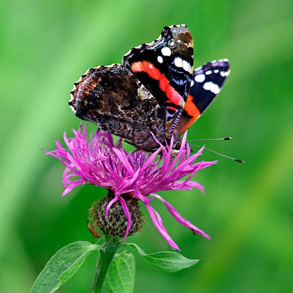Red admiral underside on a purple flower