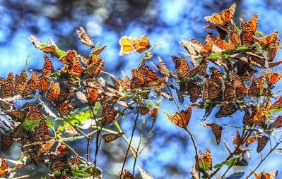 Butterflies 21