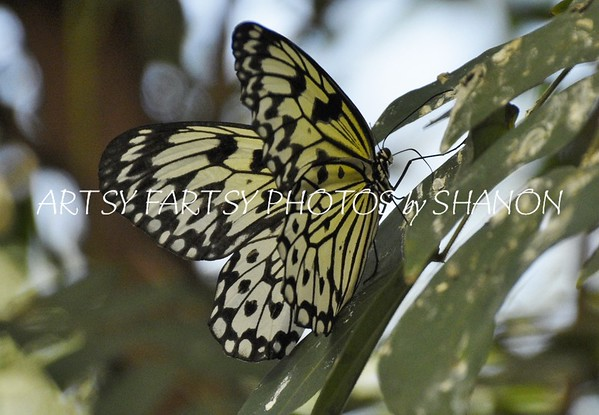 BUTTERFLYS,  MOTHS AND INSECTS