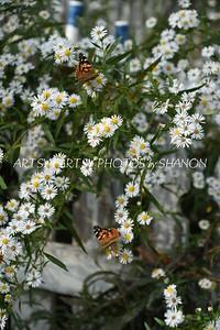 2 butterflies white flowers