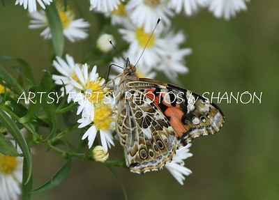 butterfly brown underwing
