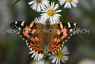 orange butterfly white flower 2