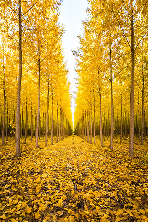 Poplar Trees - Oregon