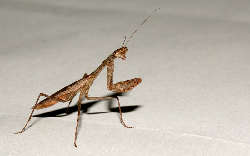 This Praying Mantis was just bigger than a thumb nail