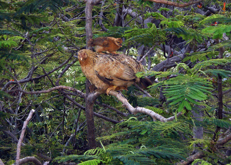 Yes, the chickens do live in the trees