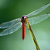 Red dragonfly beside the pool
