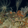 RMS Rhone Night Dive - spiney lobster out on the prowl
