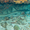 Carvel Rock - Nurse Shark