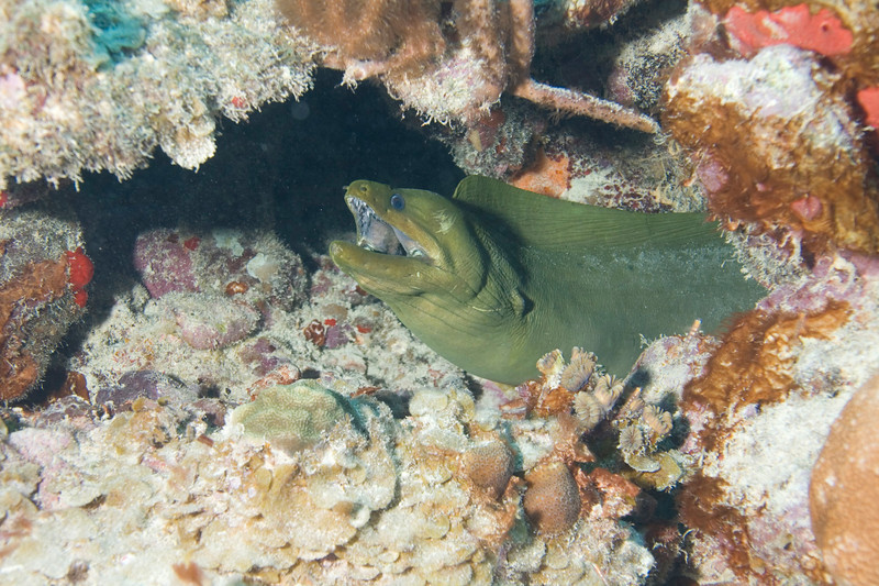 Green moray on the way out to the airplane wreck on Coral Gardens