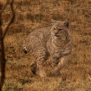 Bobcat, shot through our bedroom window on a rainy day