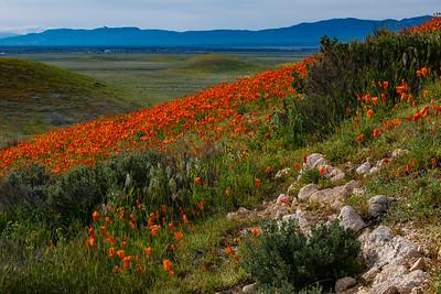 The Antelop[e Valley California Poppy Reserve