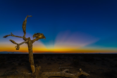 An old Joshua Tree in the desert north of California City at dawn