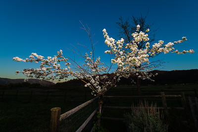 flowering tree in the back yard, lit by octabox on C-Stand with JTL-160