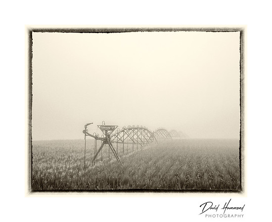 Foggy Morning Cornfield