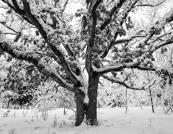 Black Oak in winter