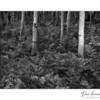 Ferns and Aspens