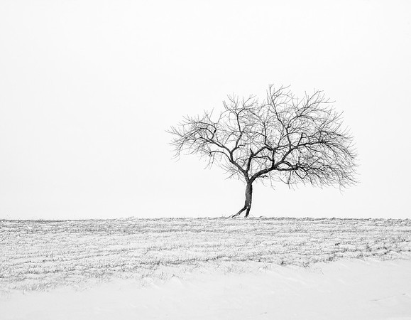 Apple Tree - Winter