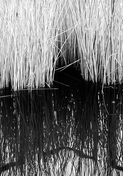 Reed Shadow