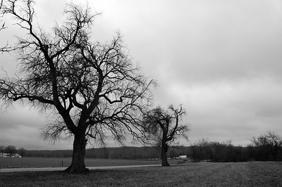 Osage Orange Trees